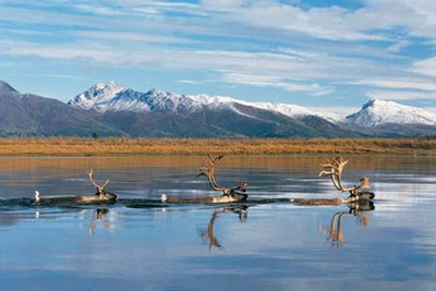 http://northern.org/wild-places/western-arctic-caribou-herd